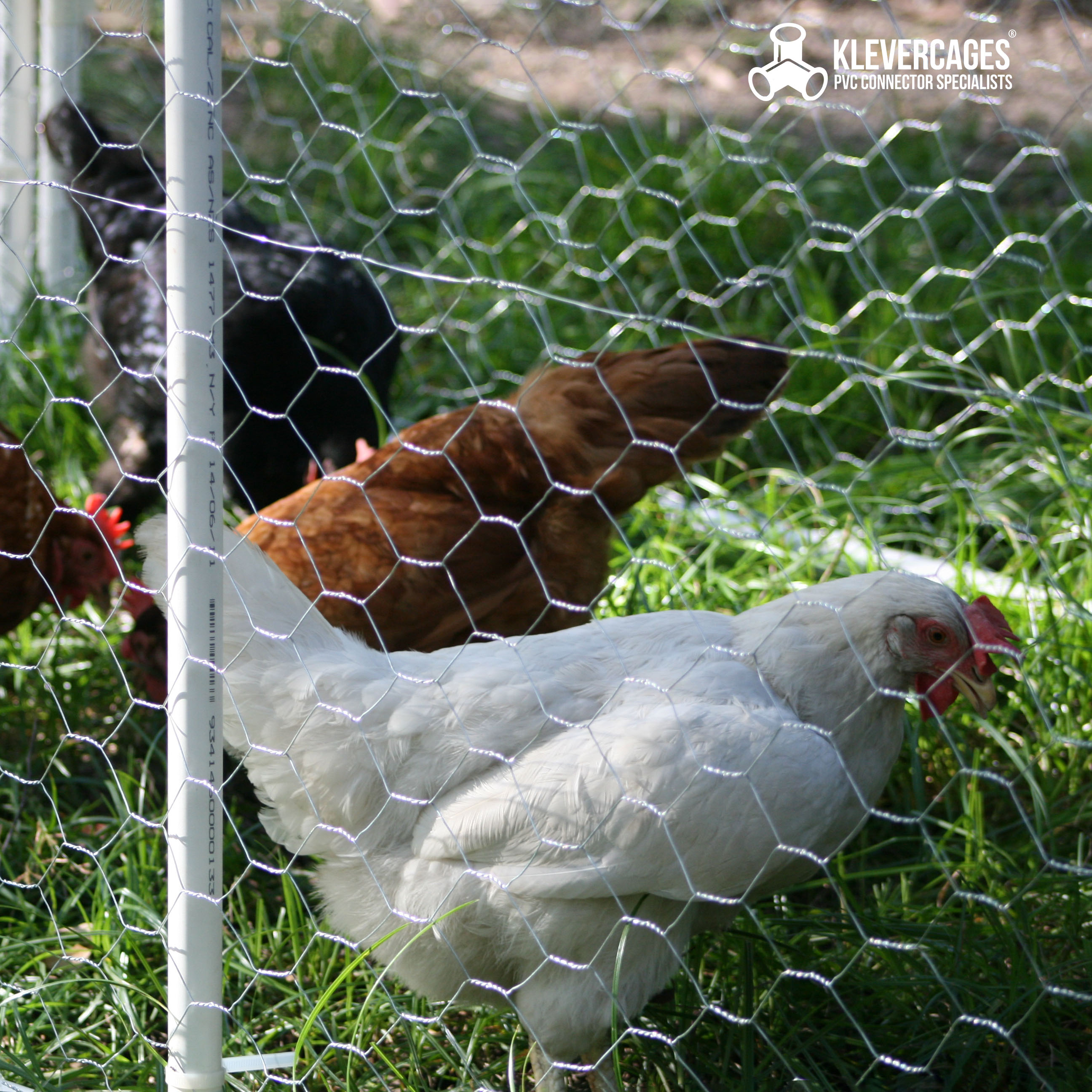 Three chickens in a chicken coop built with PVC pipe and connectors from Klever Cages. eating grass